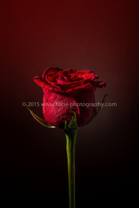 Red Rose of Love